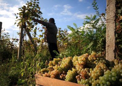 Grape harvest in Kakheti